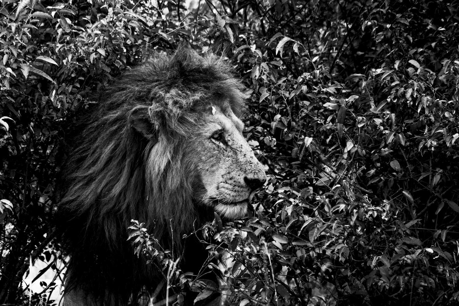 Camouflage de lion