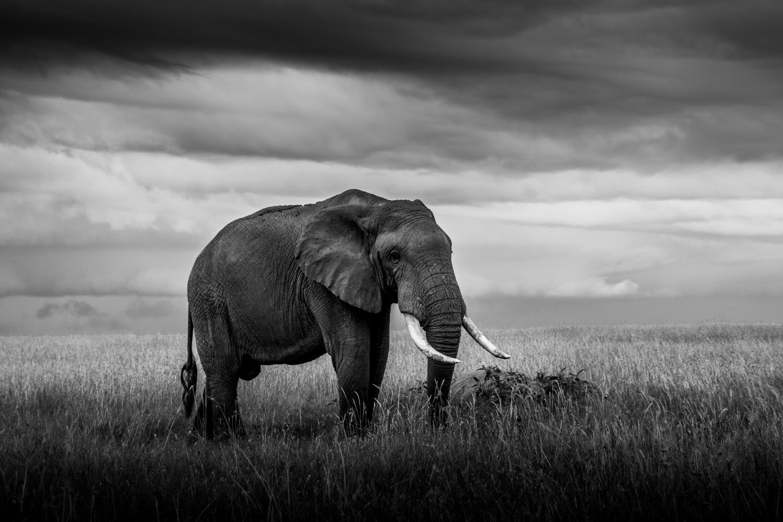 éléphants au loin dans le soir