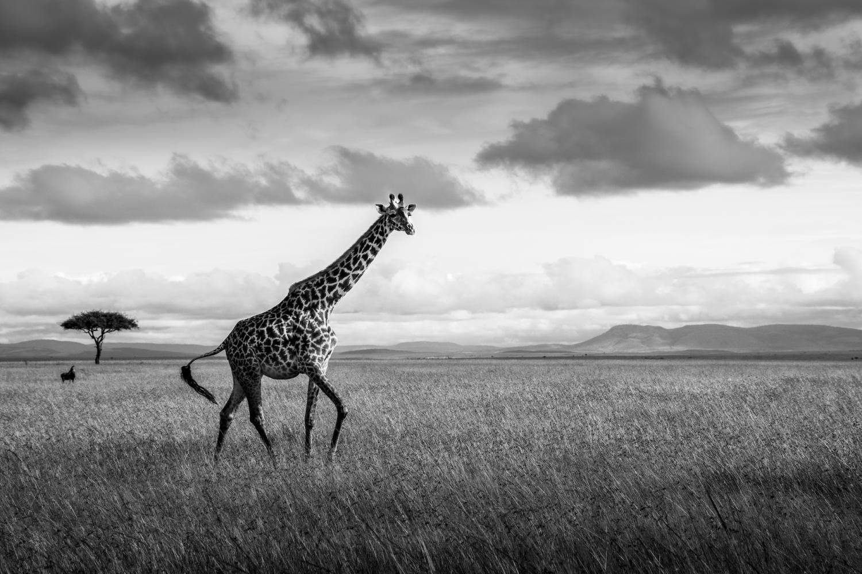 Girafe dans le Masaï-Mara