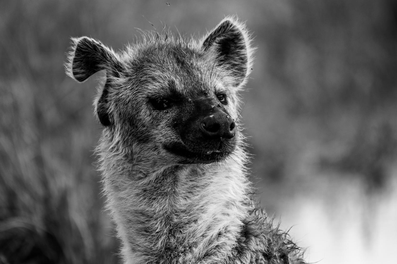 Hyène à l'oreille coupée