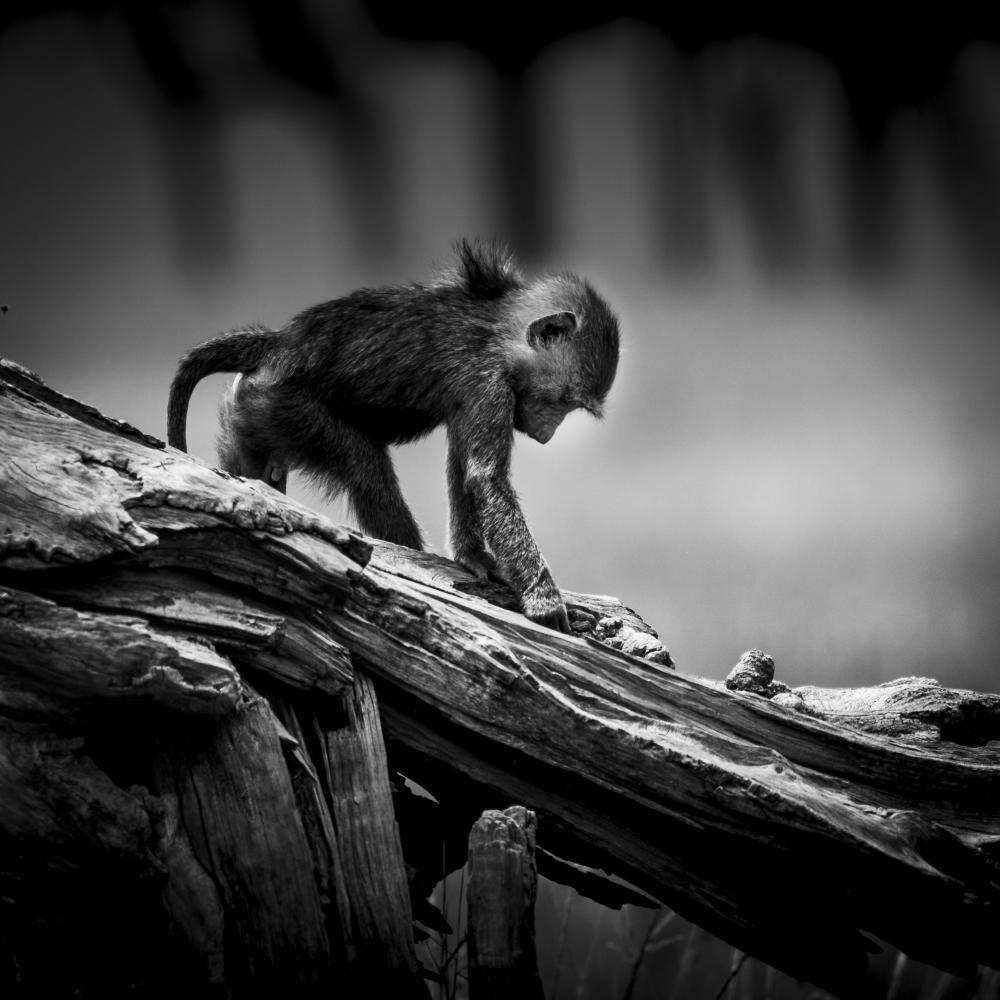 Jeune babouin joueur