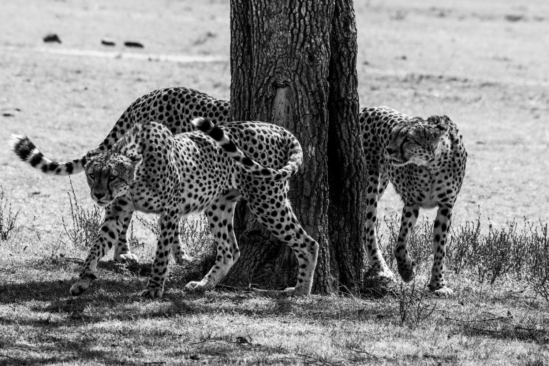 La danse des guépards