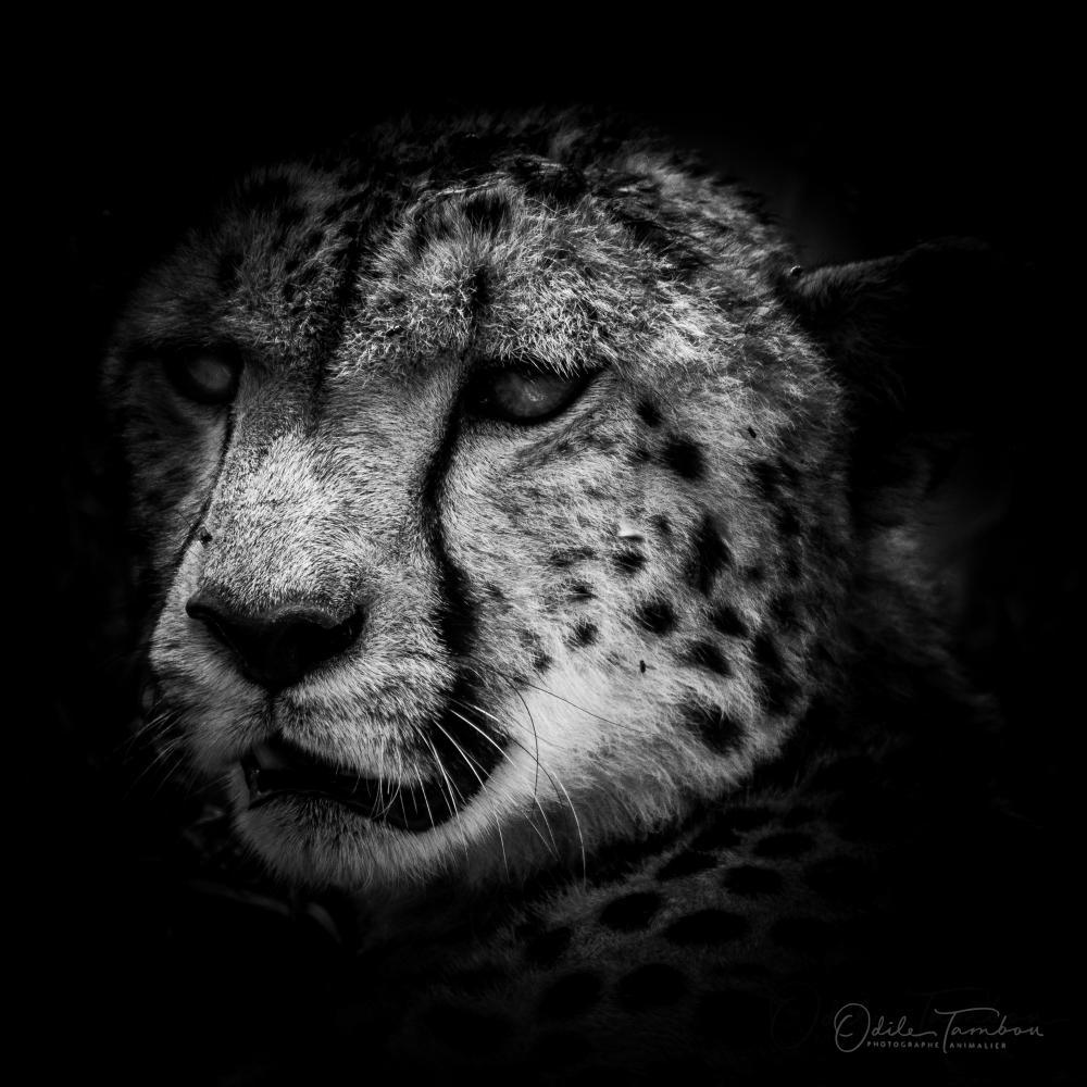 la force du guépard
