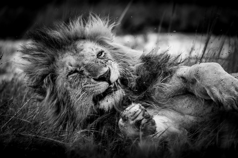 Le lion agacé