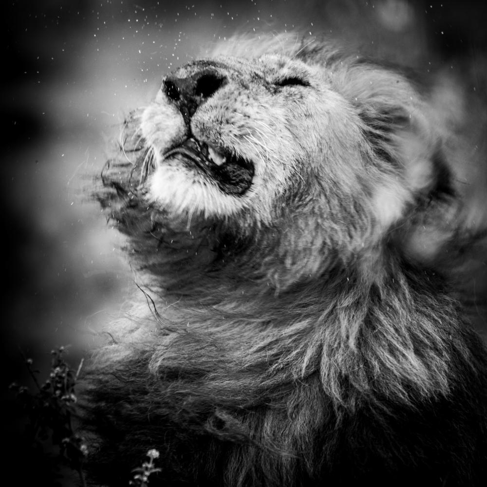 Le lion et la pluie