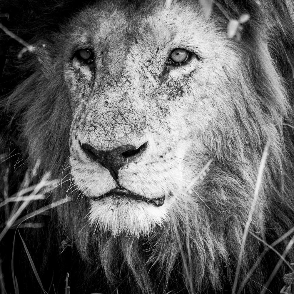 Le lion paresseux