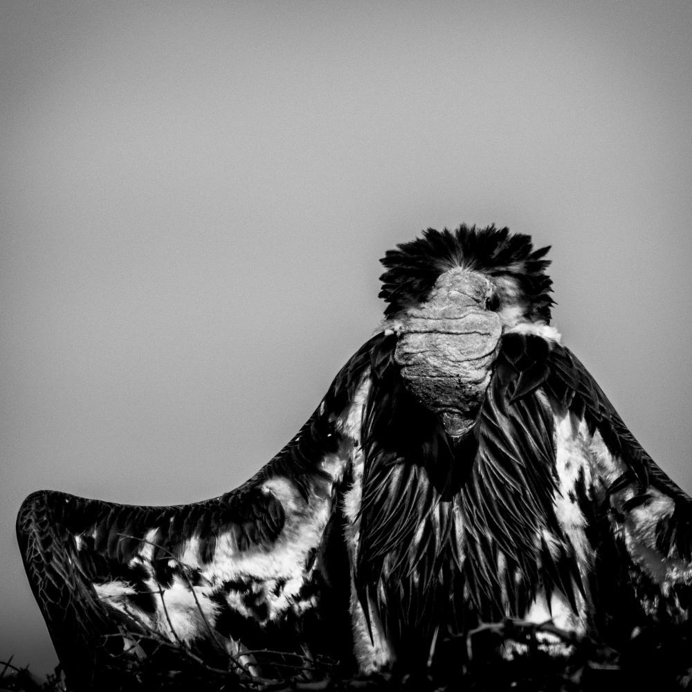 Le salut du vautour - 2