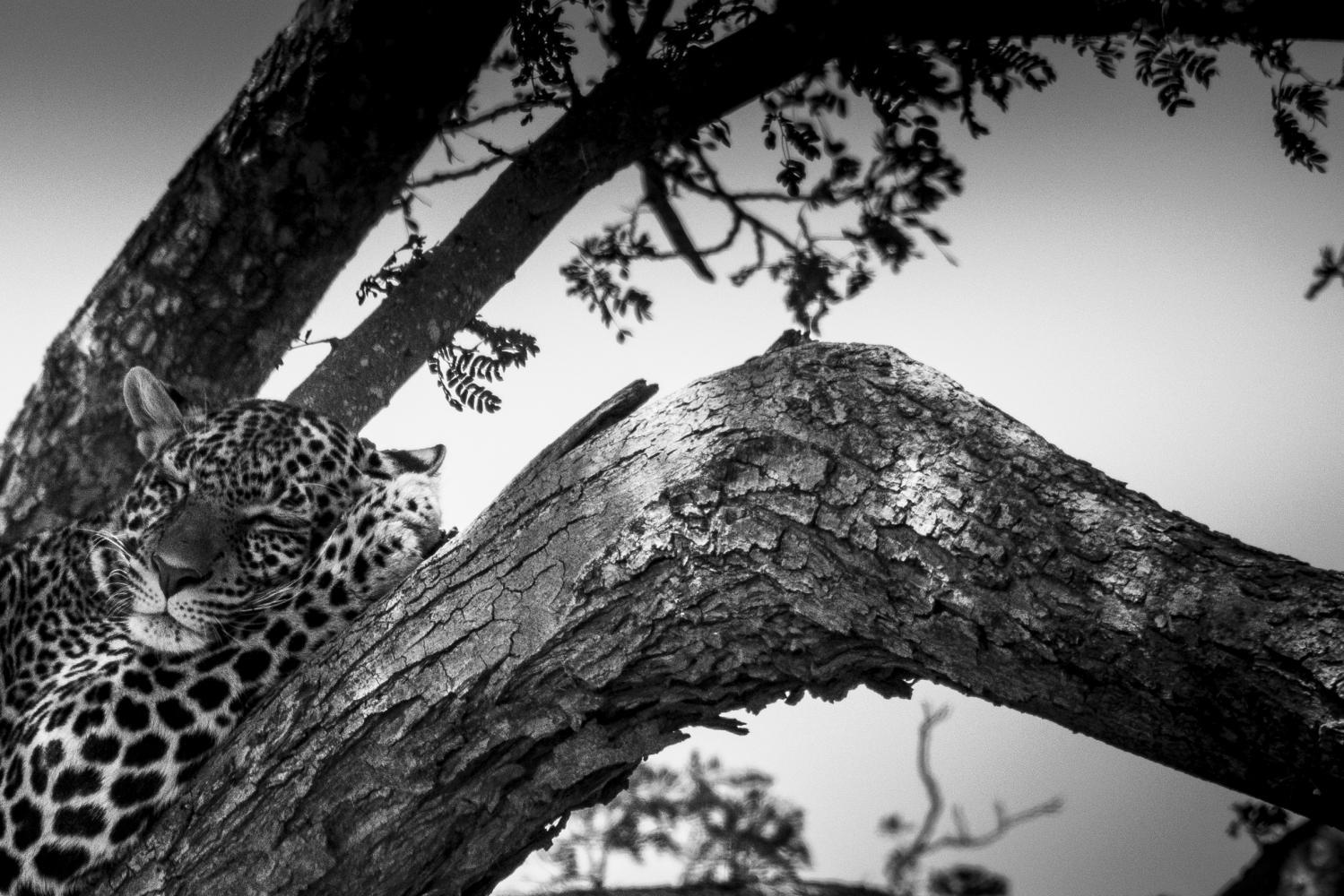 Léopard dans les branches
