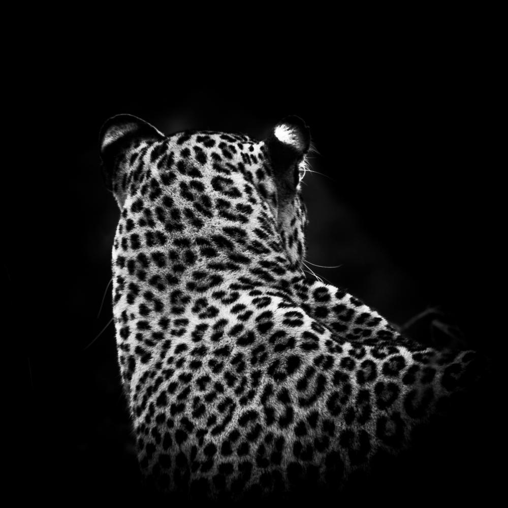 Léopard de dos