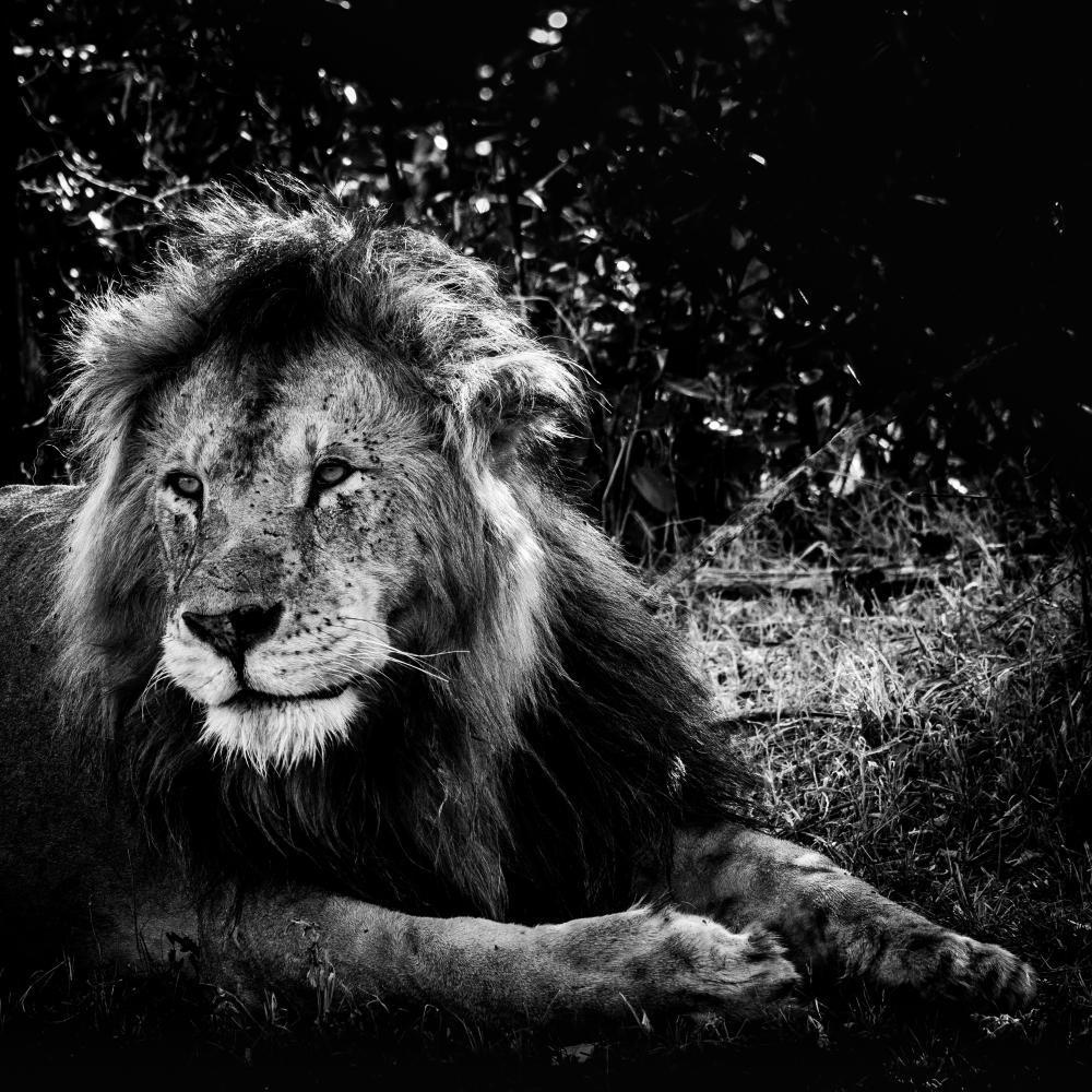 Lion dans le Bush