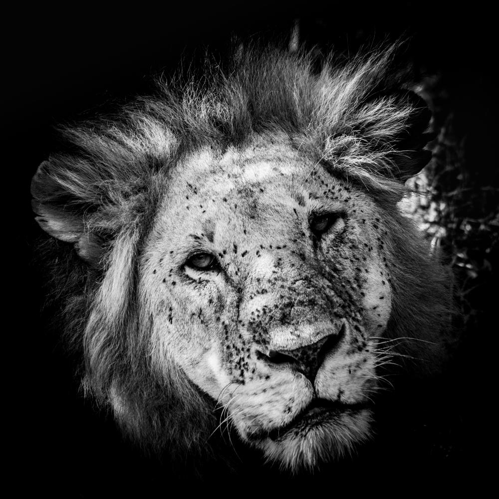 lion portrait II