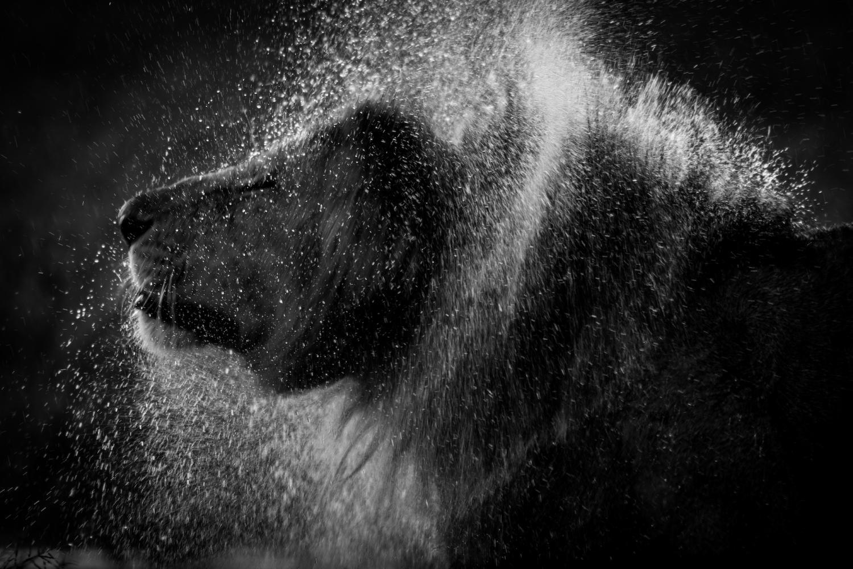 Lions et la pluie